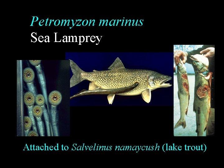 Petromyzon marinus Sea Lamprey Attached to Salvelinus namaycush (lake trout)