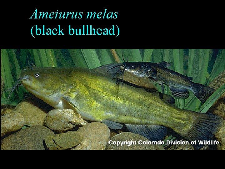 Ameiurus melas (black bullhead)