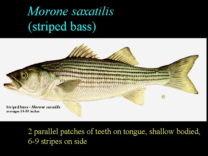 Morone saxatilis (striped bass) 2 parallel patches of teeth on tongue, shallow bodied, 6