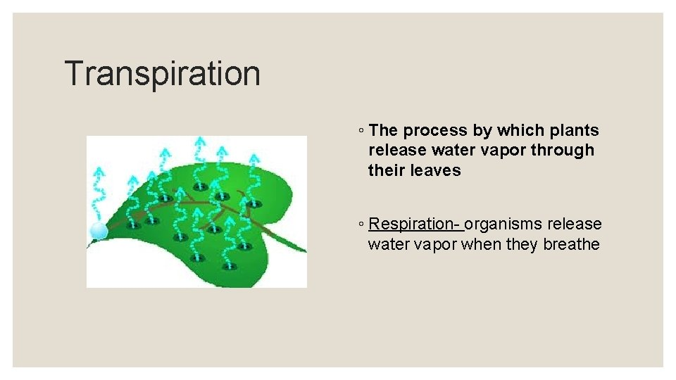 Transpiration ◦ The process by which plants release water vapor through their leaves ◦