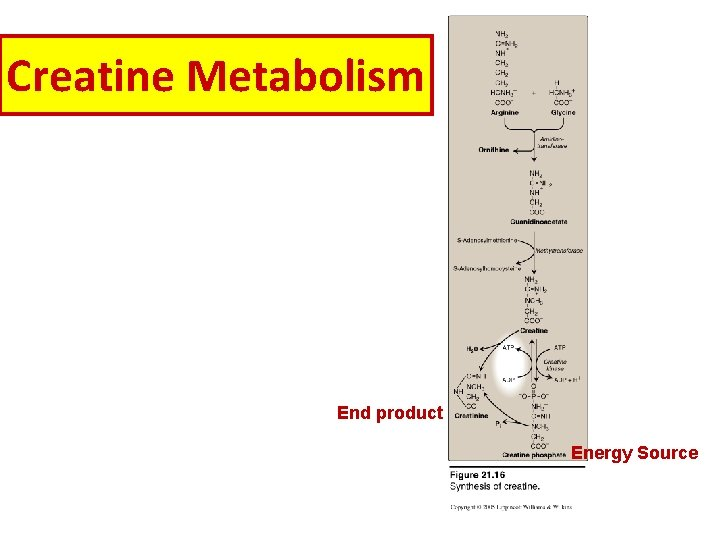 Creatine Metabolism End product Energy Source