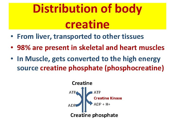 Distribution of body creatine • From liver, transported to other tissues • 98% are