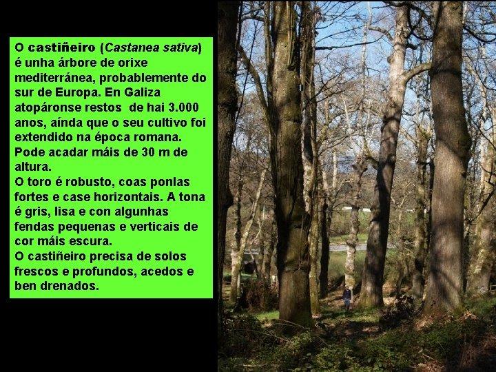 O castiñeiro (Castanea sativa) é unha árbore de orixe mediterránea, probablemente do sur de