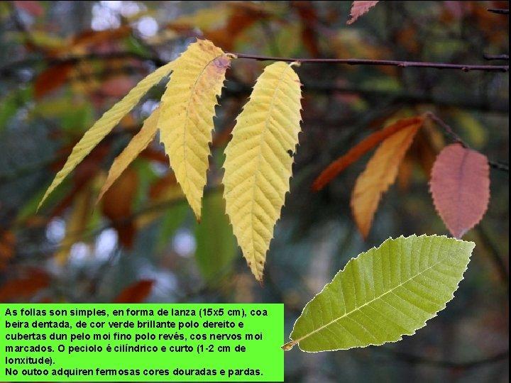 As follas son simples, en forma de lanza (15 x 5 cm), coa beira