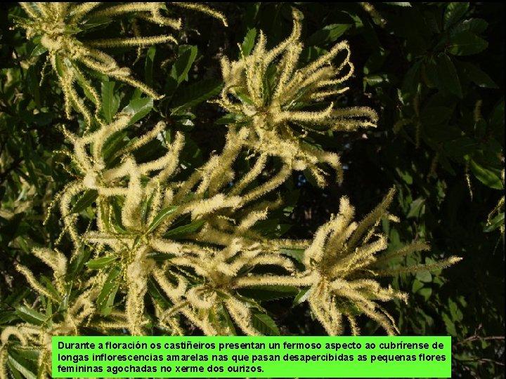 Durante a floración os castiñeiros presentan un fermoso aspecto ao cubrírense de longas inflorescencias