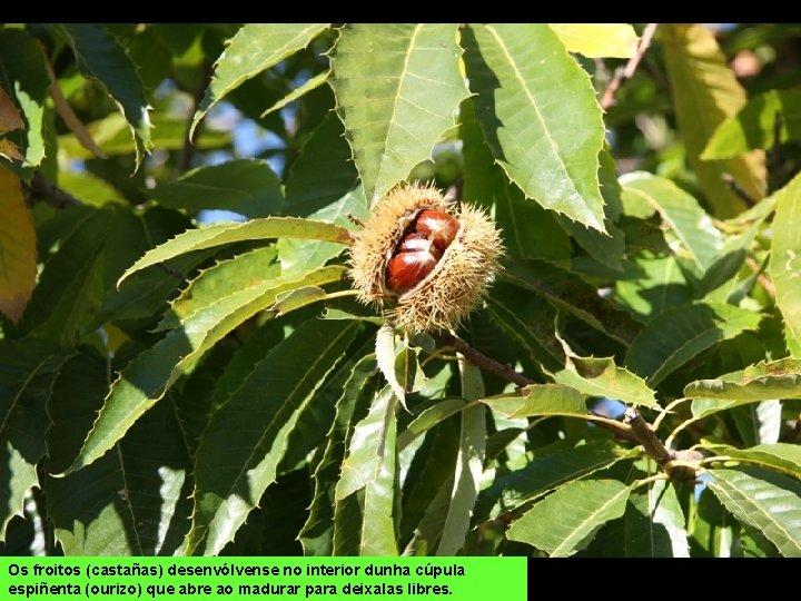 Os froitos (castañas) desenvólvense no interior dunha cúpula espiñenta (ourizo) que abre ao madurar