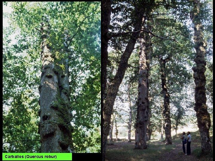 Carballos (Quercus robur)