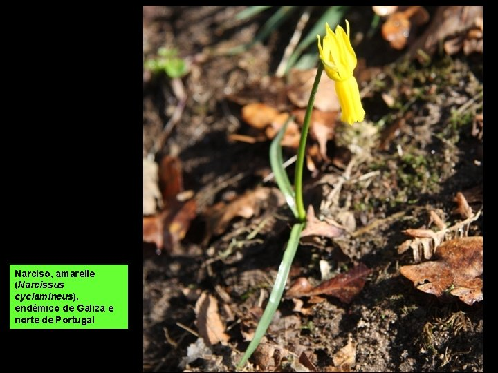 Narciso, amarelle (Narcissus cyclamineus), endémico de Galiza e norte de Portugal