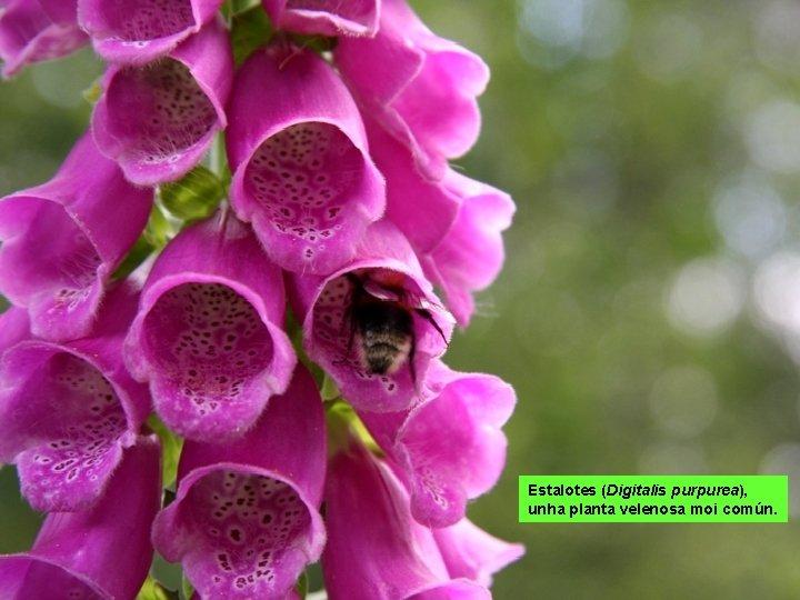 Estalotes (Digitalis purpurea), unha planta velenosa moi común.