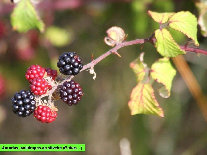 Amorias, polidrupas da silveira (Rubus…)