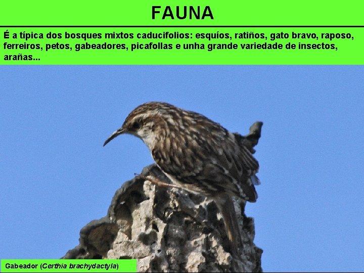 FAUNA É a típica dos bosques mixtos caducifolios: esquíos, ratiños, gato bravo, raposo, ferreiros,