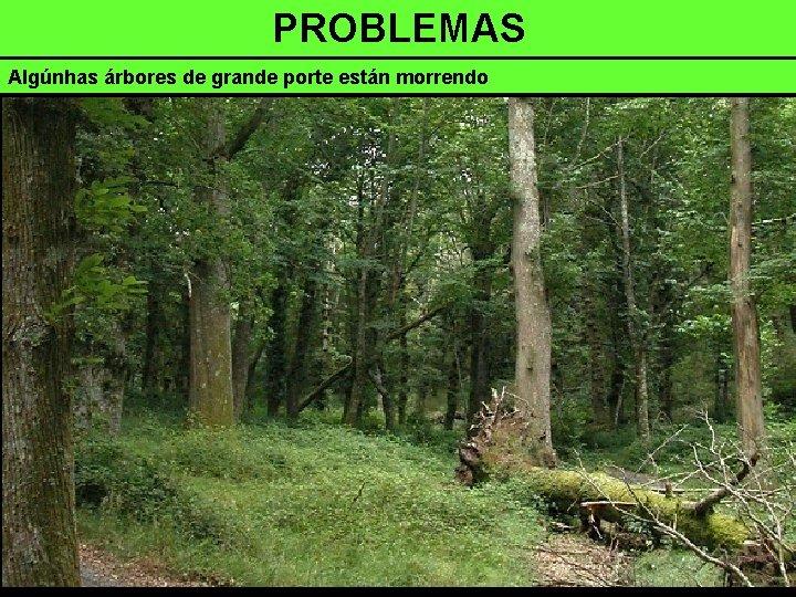 PROBLEMAS Algúnhas árbores de grande porte están morrendo