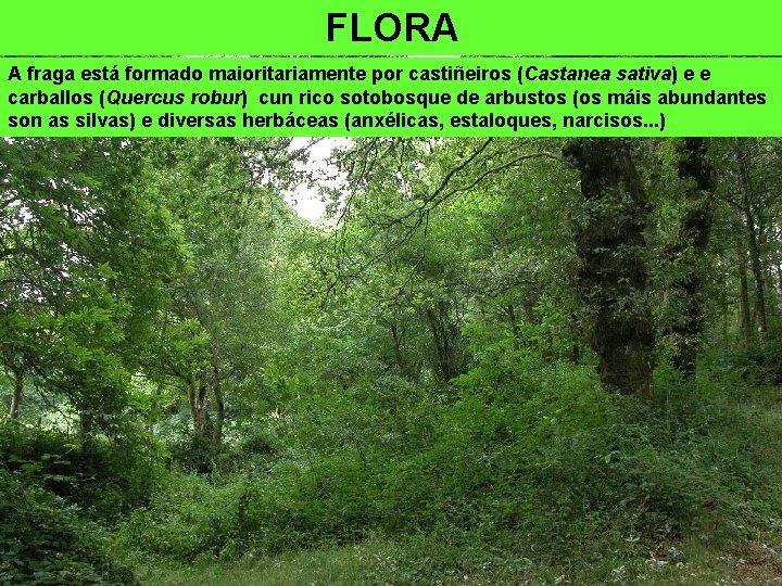 FLORA A fraga está formado maioritariamente por castiñeiros (Castanea sativa) e e carballos (Quercus