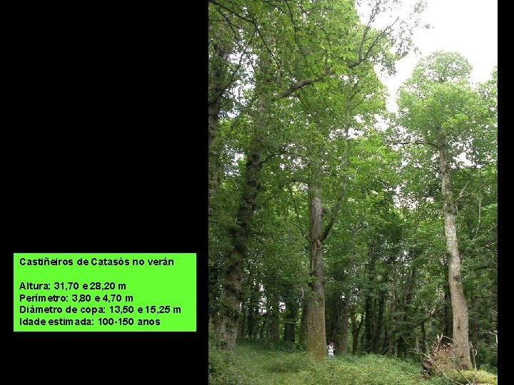 Castiñeiros de Catasós no verán Altura: 31, 70 e 28, 20 m Perímetro: 3,