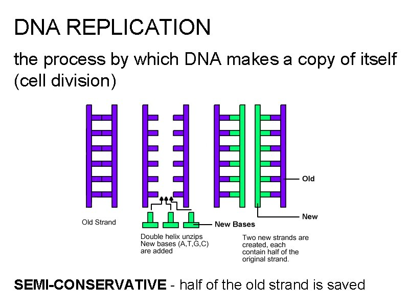 DNA REPLICATION the process by which DNA makes a copy of itself (cell division)