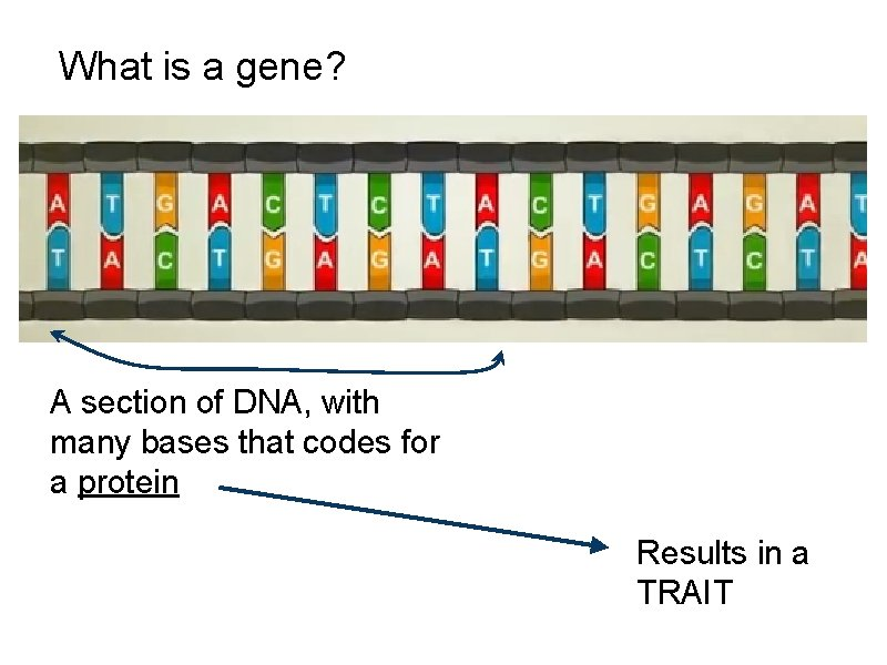 What is a gene? A section of DNA, with many bases that codes for