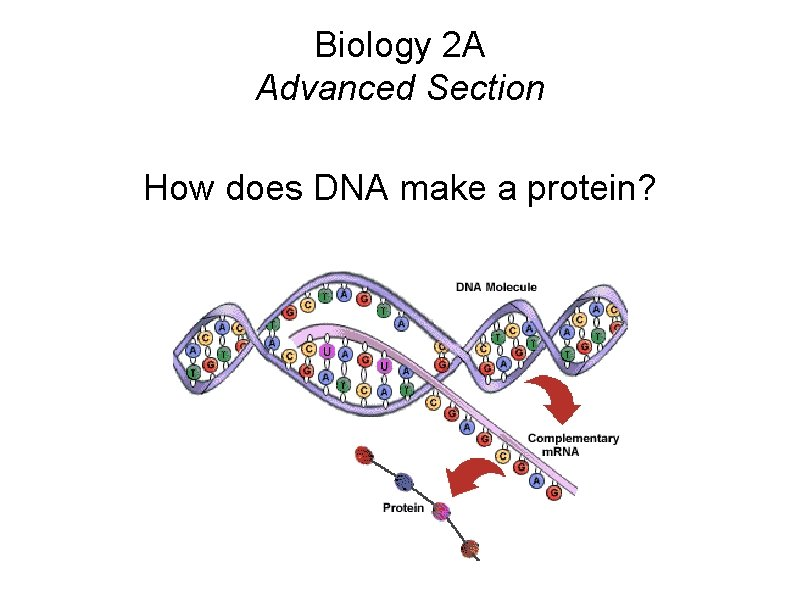 Biology 2 A Advanced Section How does DNA make a protein?