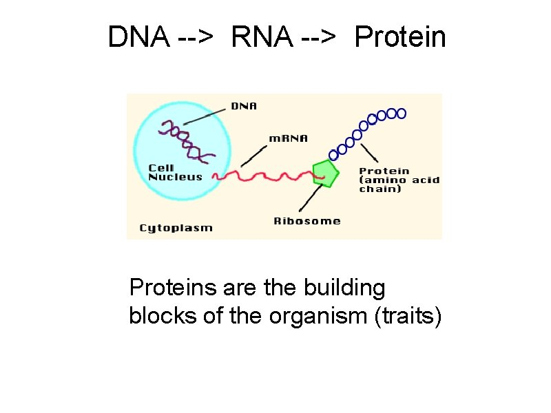 DNA --> RNA --> Proteins are the building blocks of the organism (traits)