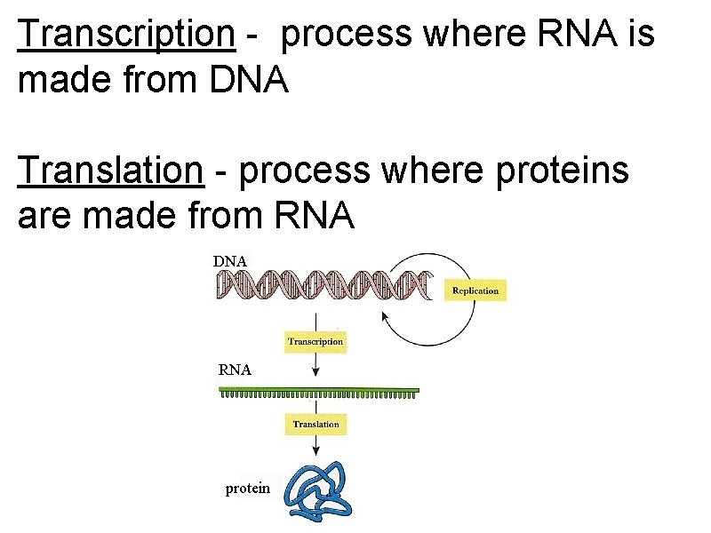 Transcription - process where RNA is made from DNA Translation - process where proteins