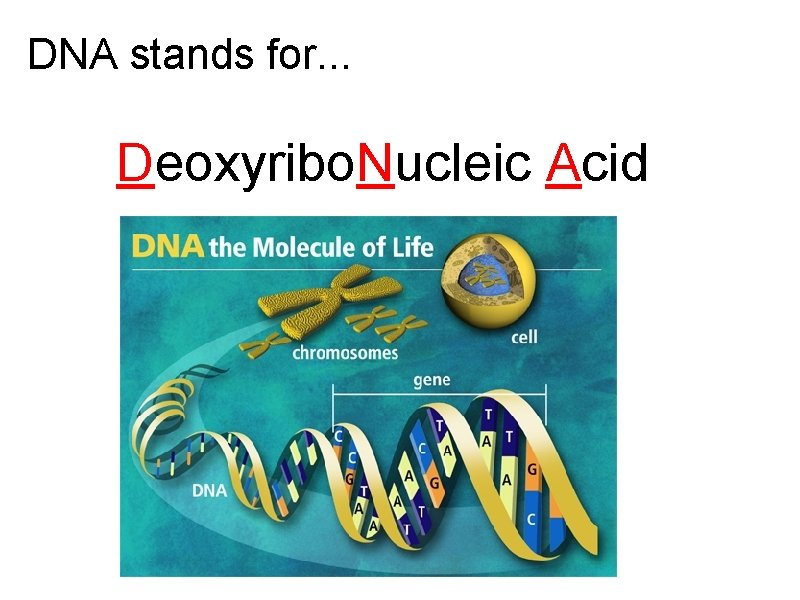 DNA stands for. . . Deoxyribo. Nucleic Acid