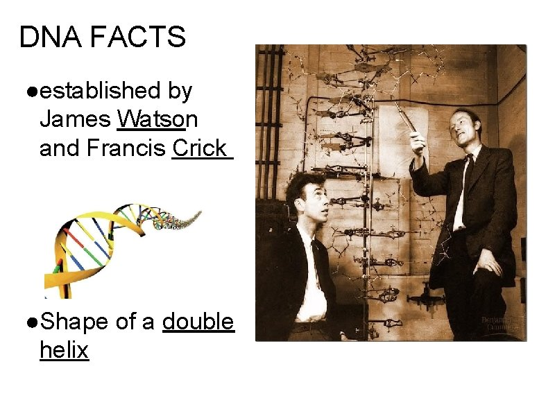 DNA FACTS ●established by James Watson and Francis Crick ●Shape of a double helix