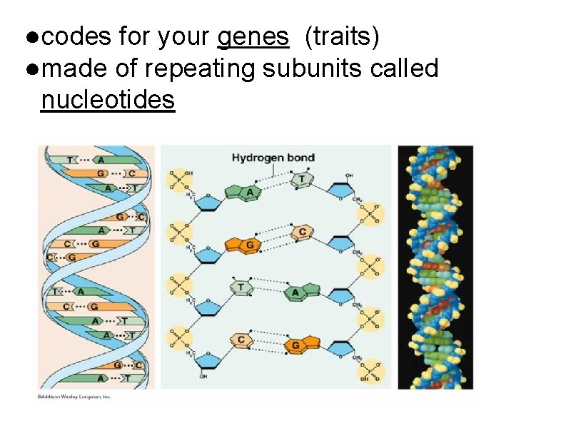 ●codes for your genes (traits) ●made of repeating subunits called nucleotides