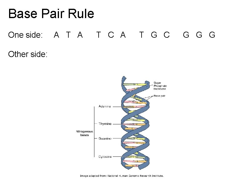 Base Pair Rule One side: A T A T C A T G C