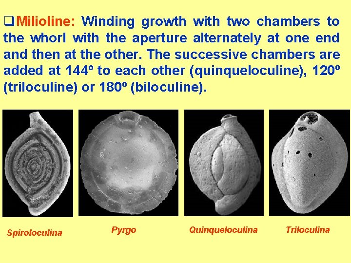 q. Milioline: Winding growth with two chambers to the whorl with the aperture alternately