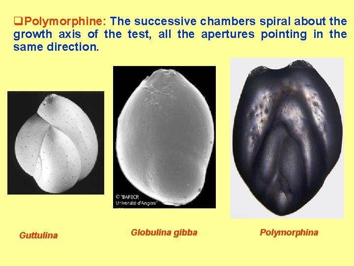 q. Polymorphine: The successive chambers spiral about the growth axis of the test, all