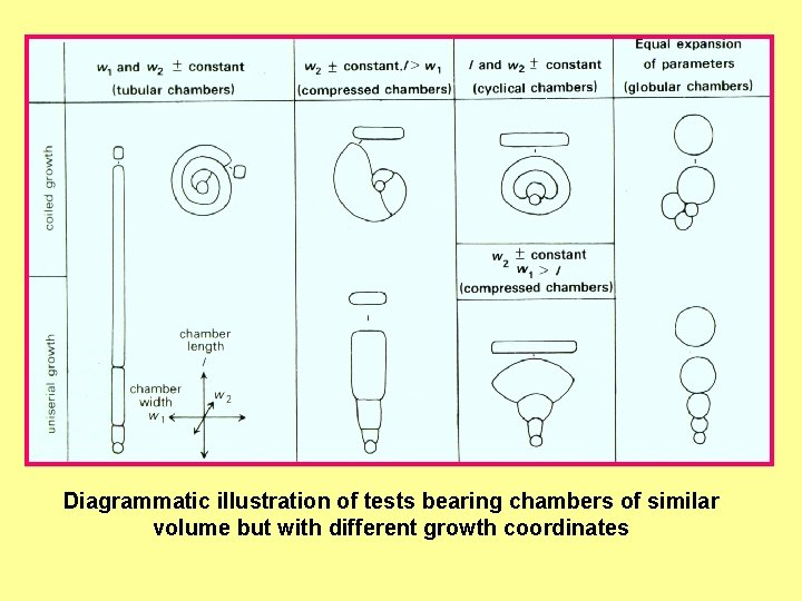 Diagrammatic illustration of tests bearing chambers of similar volume but with different growth coordinates