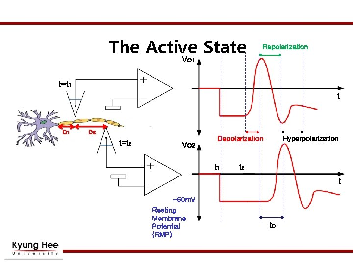 The Active State Vo Repolarization 1 t=t 1 t D 1 D 2 t=t