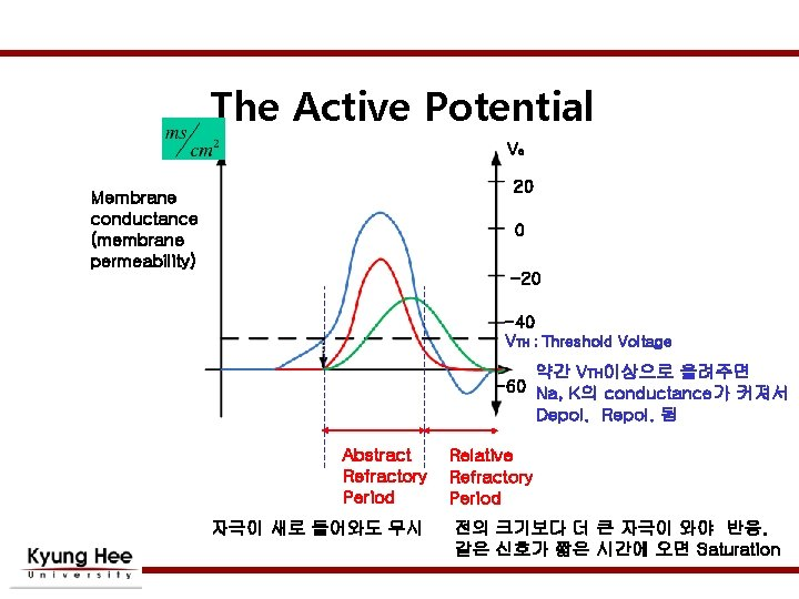 The Active Potential Vo 20 Membrane conductance (membrane permeability) 0 -20 -40 VTH ;