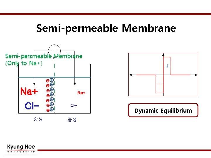 Semi-permeable Membrane Semi-persmeable Membrane (Only to Na+) Na+ Cl중성 Na+ Cl- 중성 Dynamic Equilibrium