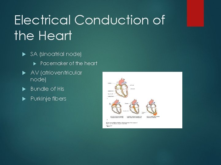 Electrical Conduction of the Heart SA (sinoatrial node) Pacemaker of the heart AV (atrioventricular