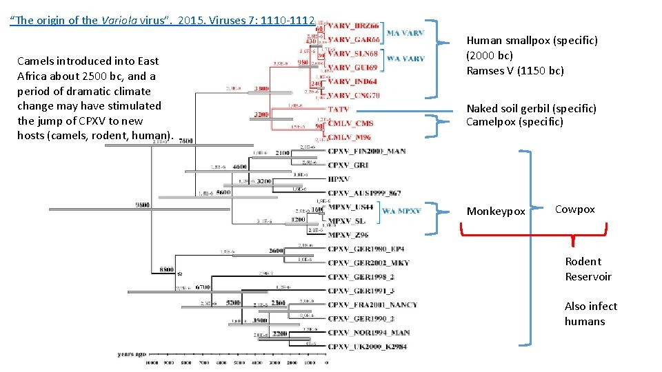 """""""The origin of the Variola virus"""". 2015. Viruses 7: 1110 -1112 Camels introduced into"""
