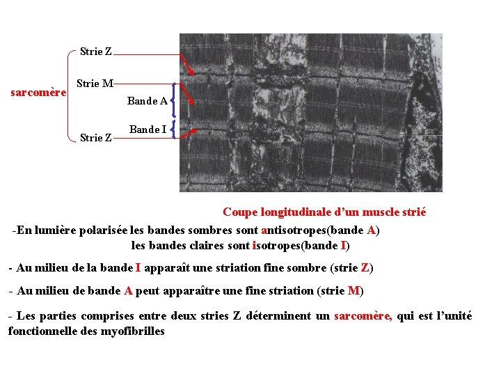 Strie Z sarcomère Strie M Bande A Strie Z Bande I Coupe longitudinale d'un