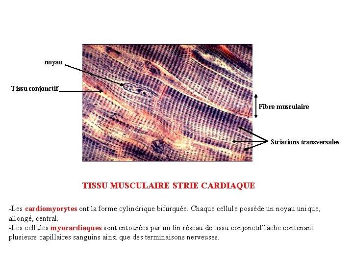 noyau Tissu conjonctif Fibre musculaire Striations transversales TISSU MUSCULAIRE STRIE CARDIAQUE -Les cardiomyocytes ont