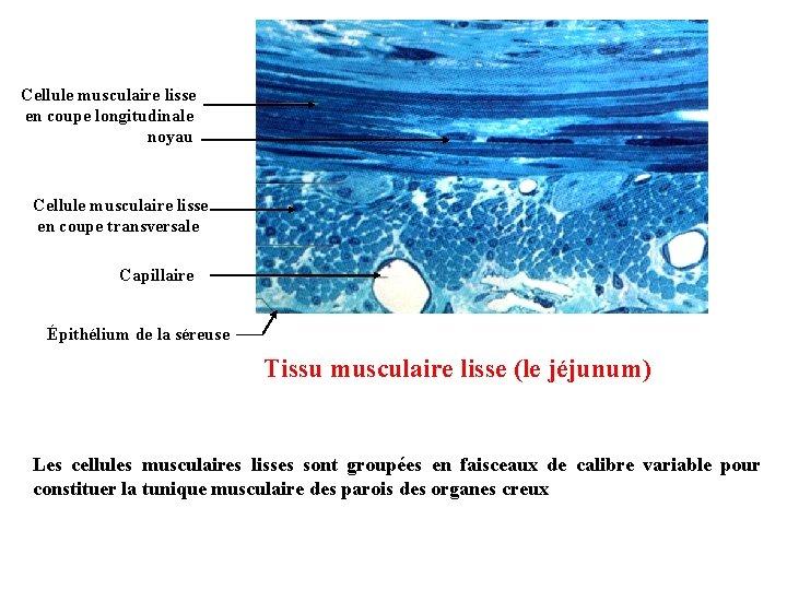 Cellule musculaire lisse en coupe longitudinale noyau Cellule musculaire lisse en coupe transversale Capillaire