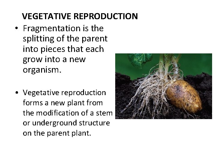 VEGETATIVE REPRODUCTION • Fragmentation is the splitting of the parent into pieces that each