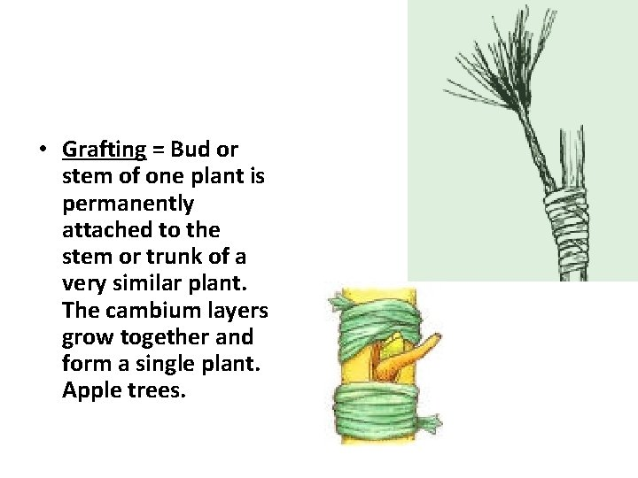 • Grafting = Bud or stem of one plant is permanently attached to