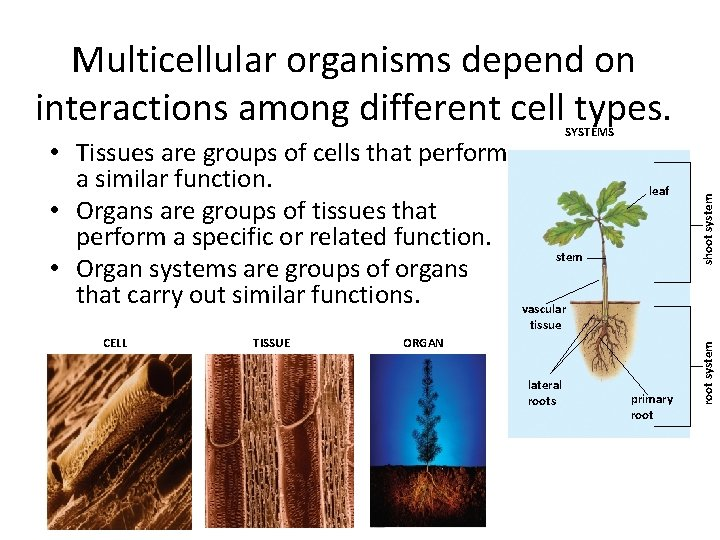 Multicellular organisms depend on interactions among different cell types. • Tissues are groups of