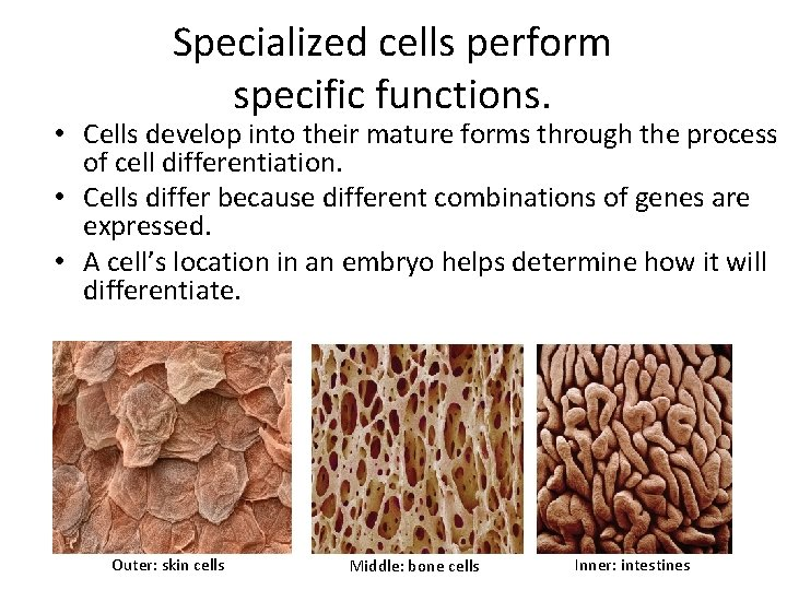Specialized cells perform specific functions. • Cells develop into their mature forms through the