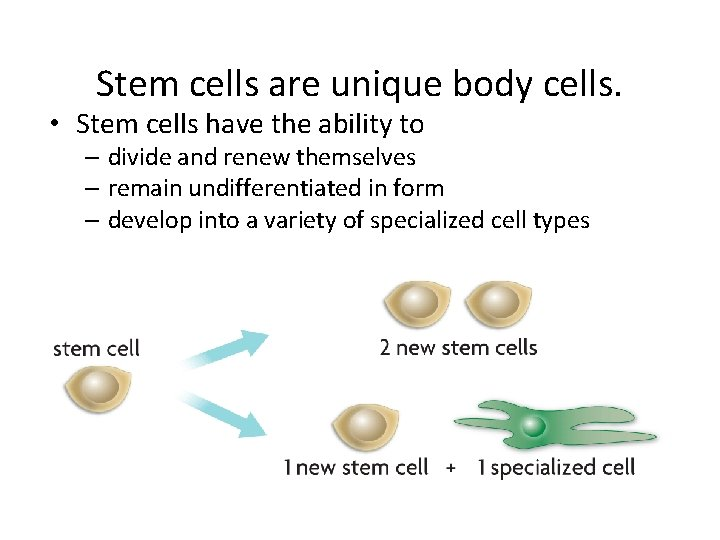 Stem cells are unique body cells. • Stem cells have the ability to –