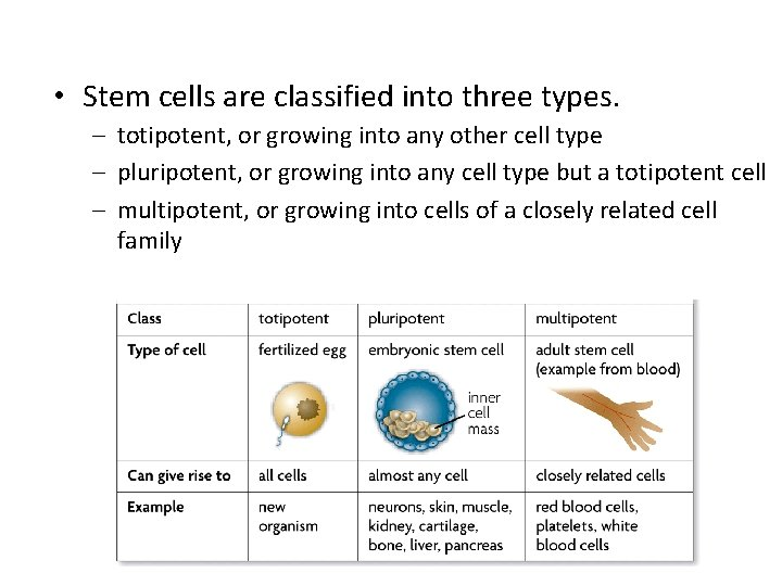 • Stem cells are classified into three types. – totipotent, or growing into
