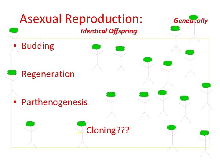 Asexual Reproduction: Identical Offspring • Budding • Regeneration • Parthenogenesis … Cloning? ? ?