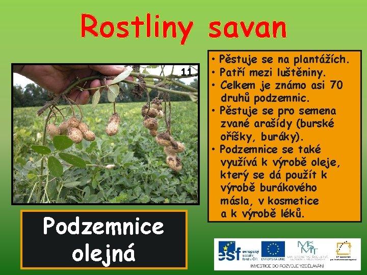 Rostliny savan 11. Podzemnice olejná • Pěstuje se na plantážích. • Patří mezi luštěniny.