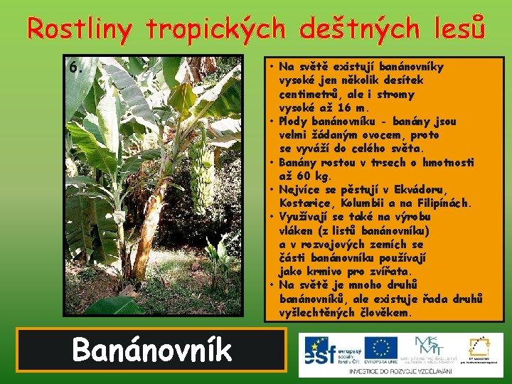 Rostliny tropických deštných lesů 6. Banánovník • Na světě existují banánovníky vysoké jen několik