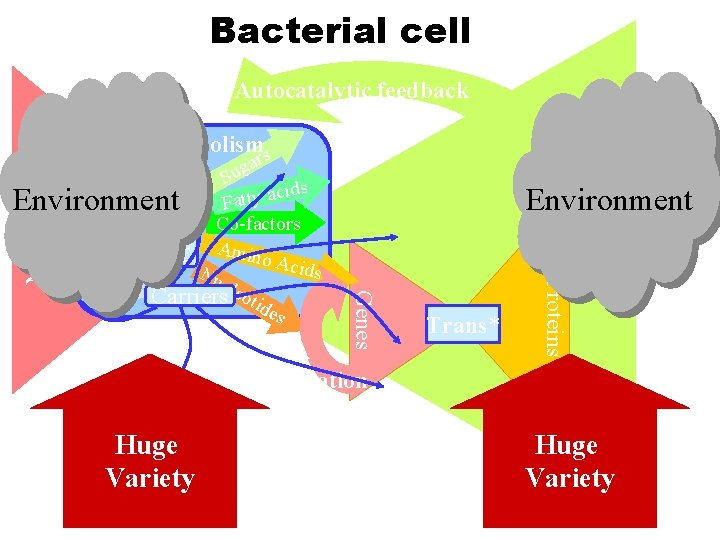 Bacterial cell Autocatalytic feedback Core metabolisms Precursors Catabolism Nutrients Environment Genes DNA replication Huge