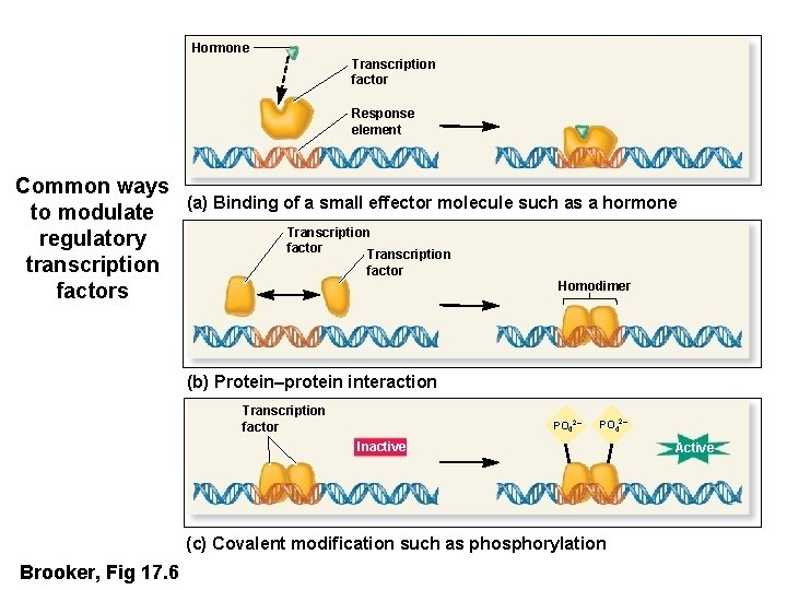 Hormone Transcription factor Response element Common ways to modulate regulatory transcription factors (a) Binding