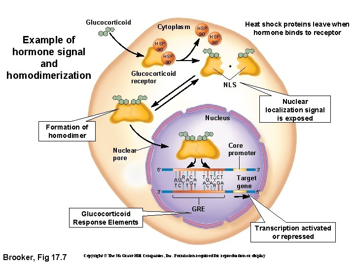 Glucocorticoid Example of hormone signal and homodimerization Cytoplasm Heat shock proteins leave when hormone